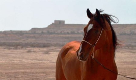 [UT research contribution]: Genetic study of Arabian horses challenges some common beliefs about the ancient breed